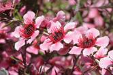 Цветове от новозеландското дърво манука